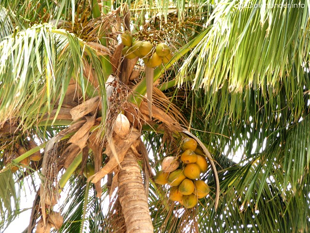 Palma kokosowa. Miło sobie tak usiąść pod drzewkiem...