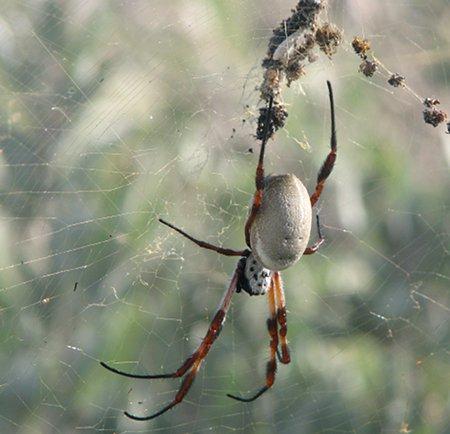 Prządka jadalna, pająk australijski