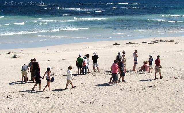 uchatki australijskie, Seal Bay, Wyspa Kangura