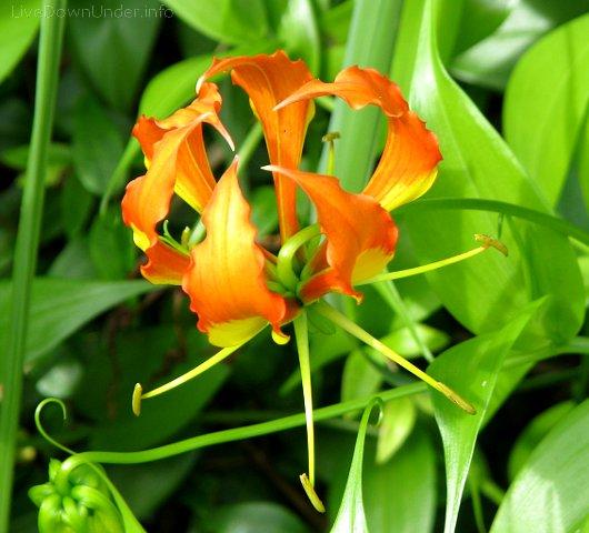 Noosa Heads, kwiatek