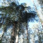 Sherbrooke Forest – Góry Dandenong