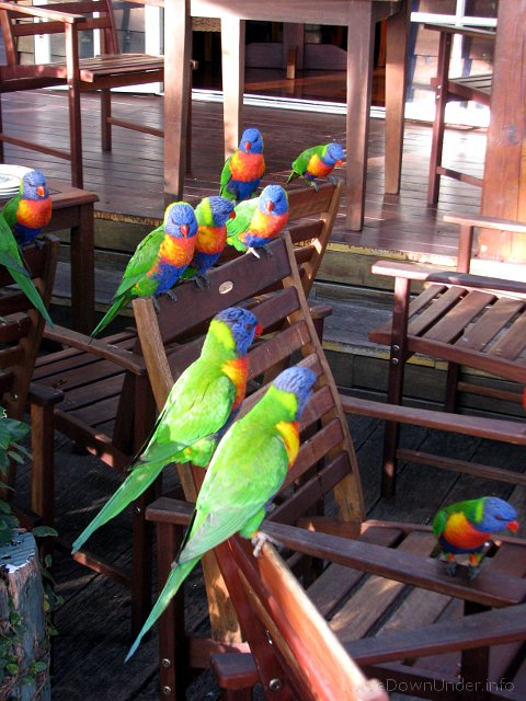 Lorikeets, Polish Place, Tamborine Mountain