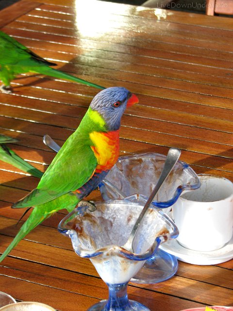 Lorikeets, Polish Place, Tamborine National Park