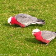 Papugi Galah