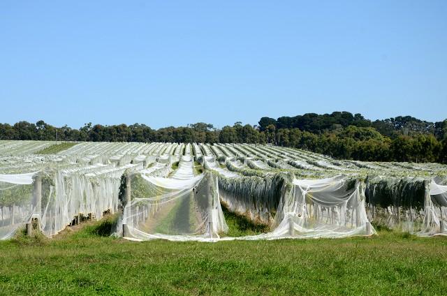 Winnica, okolice Melbourne, Australia