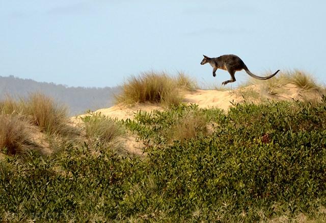 kangur, Bournda National Park, NSW, Australia