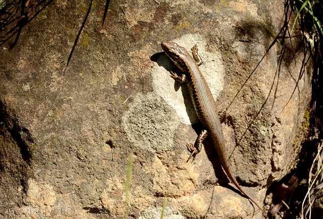 jaszczurka, Tantawangalo State Forest, Wielkie Góry Wododziałowe, NSW, Australia
