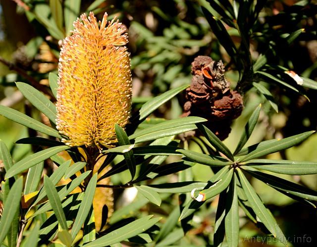 Coastal banksia, Ogród botaniczny w Melbourne, Australia