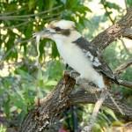 Kookaburra na polowaniu
