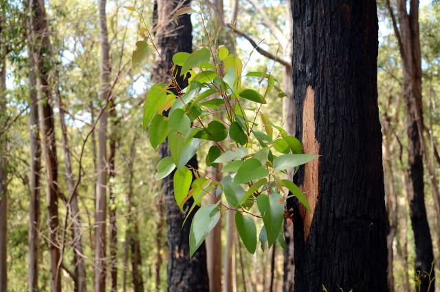 eukaliptus po pożarze, Australia
