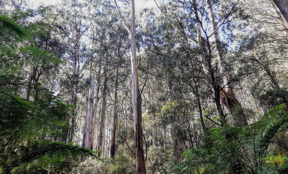 Toolangi Forest